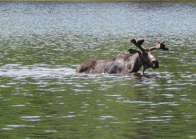 moose in maine