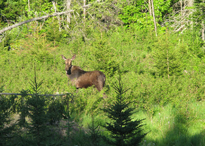moose in moosehead maine